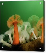 Plumose Anemone In Puget Sound Acrylic Print