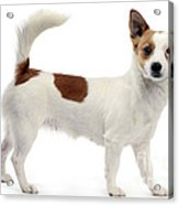 Podengo Portuguese Dog Acrylic Print