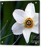 Poet's Daffodil Acrylic Print