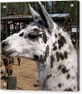 Polka Dot Llama Pogo Rules Acrylic Print