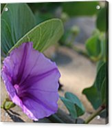 Pohuehue - Pua Nani O Kamaole Hawaii - Beach Morning Glory Acrylic Print