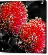 Pohutukawa Tree Acrylic Print