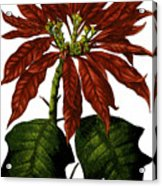 Poinsettia A Traditional Christmas Plant Vintage Poster Acrylic Print