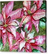 Poinsettia  Acrylic Print