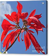 poinsettia from Madagascar Acrylic Print