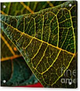 Poinsettia Green Leaf Acrylic Print