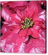 Poinsettia Passion Acrylic Print