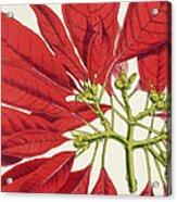 Poinsettia Pulcherrima Acrylic Print by WG Smith