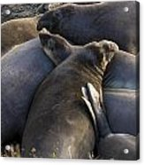 Point Piedras Blancas Elephant Seals 2 Acrylic Print