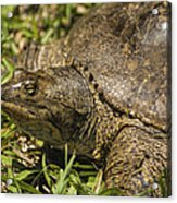 Pointed Nose Florida Softshell Turtle - Apalone Ferox Acrylic Print