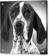 Pointer Dog Acrylic Print