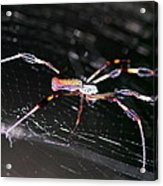 Points Of Contact - Spider - Orb Weaver Acrylic Print