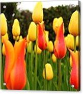 Pointy Tulips Acrylic Print