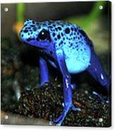 Poison Blue Dart Frog Acrylic Print