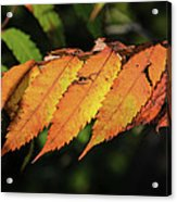 Poison Sumac Golden Kickoff To Fall Colors Acrylic Print