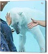 Polar Bear 3 Acrylic Print