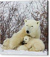 Polar Bear And 3 Month Old Cubs Acrylic Print