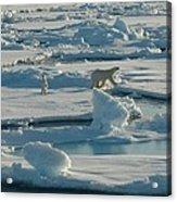 Polar Bear And Her Cub Acrylic Print