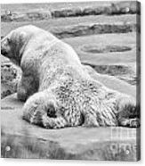 Polar Bear Bw Acrylic Print
