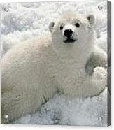 Polar Bear Cub Playing In Snow Alaska Acrylic Print