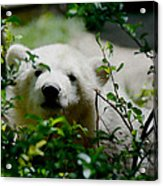 Polar Bear Cub Acrylic Print