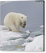 Polar Bear Cub Ursus Maritimus Playing Acrylic Print