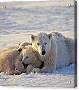 Polar Bear Family Nap Acrylic Print