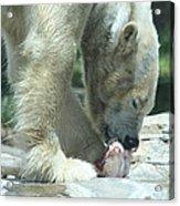Polar Bear Feeding Acrylic Print