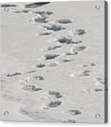Polar Bear Footprints Acrylic Print