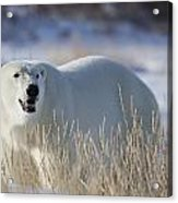 Polar Bear In The Sunshinechurchill Acrylic Print
