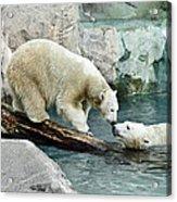 Polar Bear Kiss Acrylic Print