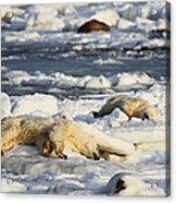 Polar Bear Mother And Cub Grooming Acrylic Print