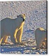 Polar Bear Mother And Cub On Ice Acrylic Print