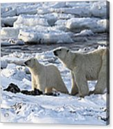 Polar Bear Mother And Cub Sniffing The Air Acrylic Print
