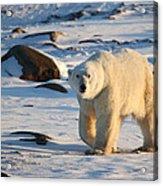 Polar Bear On The Tundra Acrylic Print
