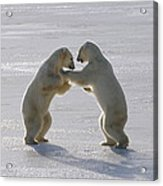 Polar Bear Pair Sparring Churchill Acrylic Print