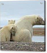 Polar Bear Snuggle Acrylic Print