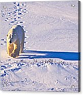 Polar Bear Tracks Acrylic Print