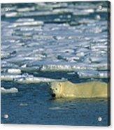 Polar Bear Wading Along Ice Floe Acrylic Print