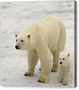 Polar Bear With Cub Acrylic Print