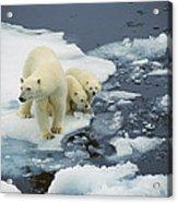 Polar Bear With Cubs On Pack Ice Acrylic Print