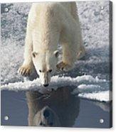 Polar Bear With Reflection Acrylic Print