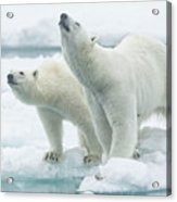 Polar Bears, Mother And Son Acrylic Print