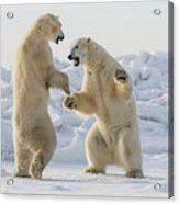 Polar Bears  Ursus Maritimus  Sparring Acrylic Print
