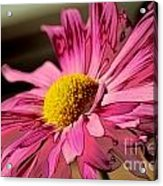 Polaroid Pink Daisy Acrylic Print