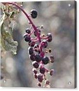 Polk Berries Acrylic Print