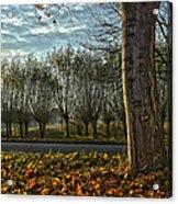 Pollard Willows In Rotterdam Acrylic Print