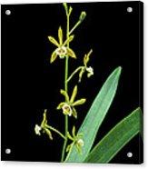 Pollardia Pterocarpa. Acrylic Print
