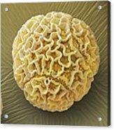 Pollen Grain Passiflora Alata (sem) Acrylic Print