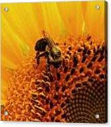 Pollen Jock Acrylic Print